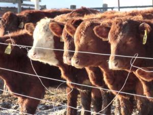 cowslinedup