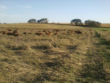 cowsonpasture